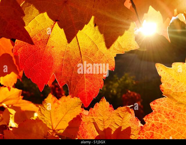 Close up of vineyard leaf in autumn at sunset - Stock Image
