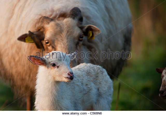 The Netherlands, Nederhorst den berg, Sheep and lamb at sunrise. - Stock Image