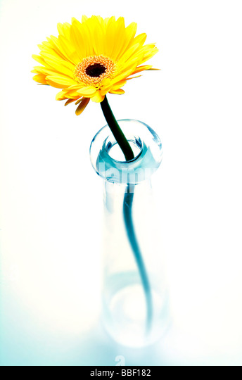 Yellow Daisy  Gerber flower creatively lit in a studio - Stock Image