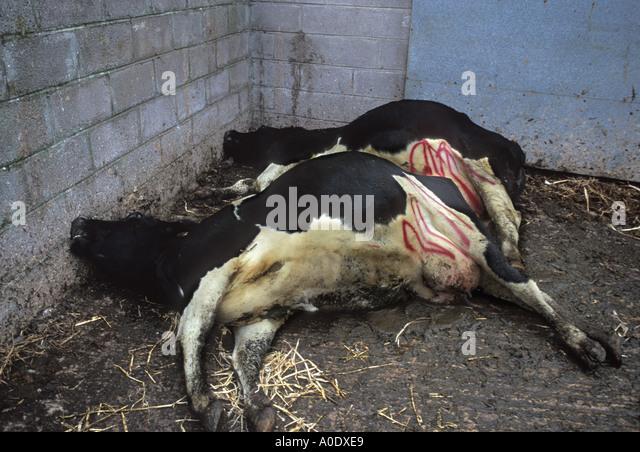 bovine spongiform encephalopathy Bovine spongiform encephalopathy (bse, mad cow disease) is a type of transmissible spongiform encephalopathy (tse) that affects cattle tses are progressive and.