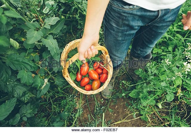 Elevated view of a boy holding a basket of freshly picked tomatoes - Stock Image
