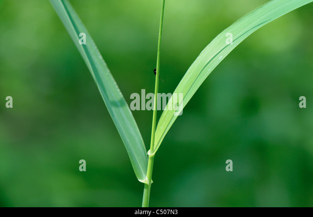 Blades of reed growing in the meadow with insect shadow on it - Stock Image