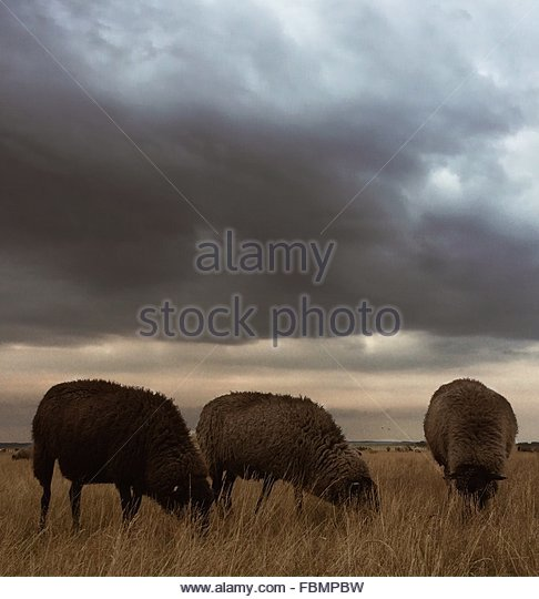 Sheep Grazing On Field Against Cloudy Sky - Stock Image