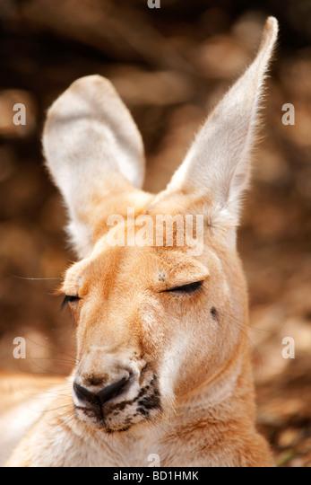 Snoozing wild Red Kangaroo Macropus rufus - Stock Image