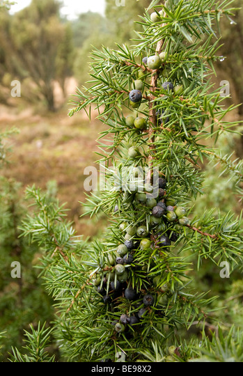 Juniper branch with berries which vary in color. At the background Juniper shrups or brushwood - Stock-Bilder