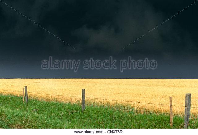 Wheat fields, Twin Buttes region, Alberta, Canada - Stock Image