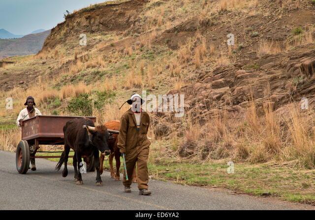 Ox-cart on road near Moteng; Drakensberg Mountains, Lesotho - Stock Image
