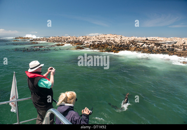 Tourists photographing a fur seal (Arctocephalus pusillus) jumping out of the water, Gansbaai, Western Cape, South - Stock Image