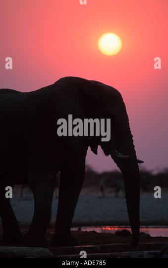 African elephant Loxodonta africana In silhouette against sunrise Etosha N P Namibia - Stock-Bilder