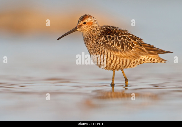 Stilt Sandpiper (Calidris himantopus) in a pond - Stock Image