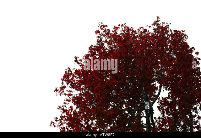 Late Autumn Crimson Leaves & Black Tree Branches Against A Stark White Sky - Stock Image