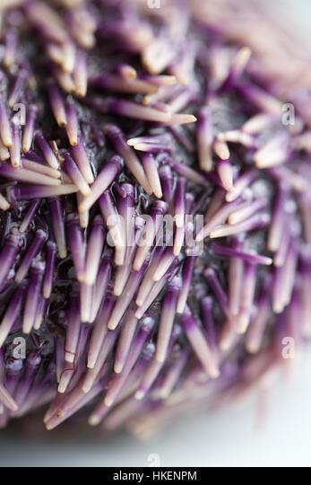 close up of purple sea urchin. seafood, raw, sea hedgehog, spike. - Stock Image
