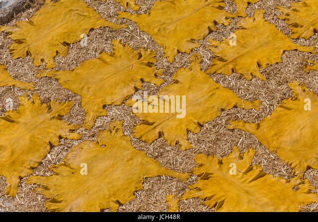 Dyed yellow goatskins are laid out on a bed of straw on a tannery rooftop in Fez, Morocco - Stock Image