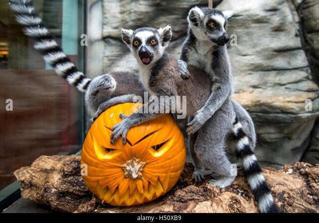 Prague, Czech Republic. 18th Oct, 2016. A lemur catta examines a Halloween pumpkin with carved face during Halloween - Stock Image