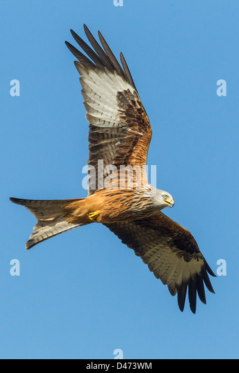 Red Kite (Milvus milvus) soars against clean blue sky in Mid Wales. - Stock Image