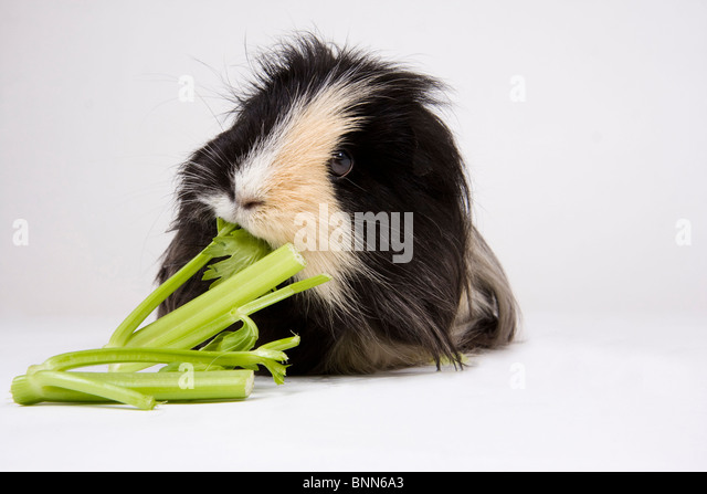 Black and white guinea pig eating celery on a white background. - Stock Image