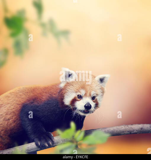 Red Panda Bear Climbing On A Tree - Stock Image