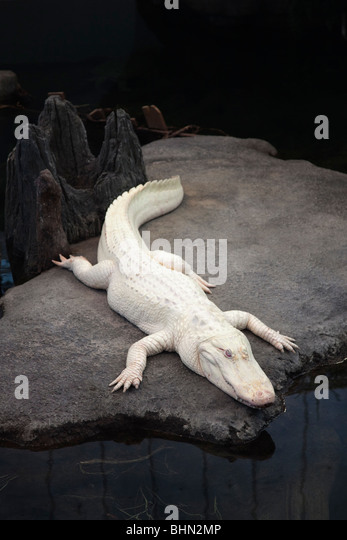 'Claude,' the albino American alligator in the 'Swamp' exhibit at the California Academy of Sciences, - Stock Image