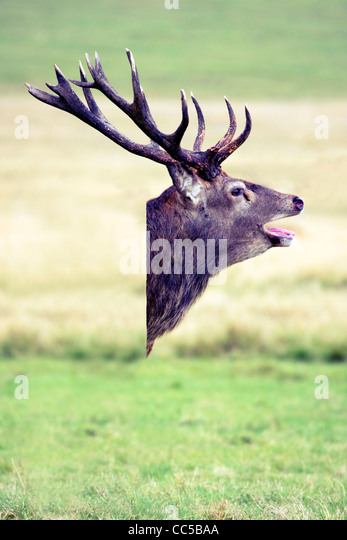 Deer head composite image - Stock Image