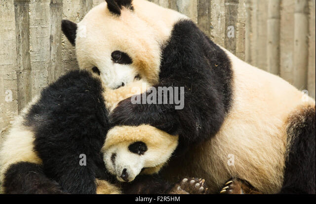 Mother panda playing with her kid - Stock Image