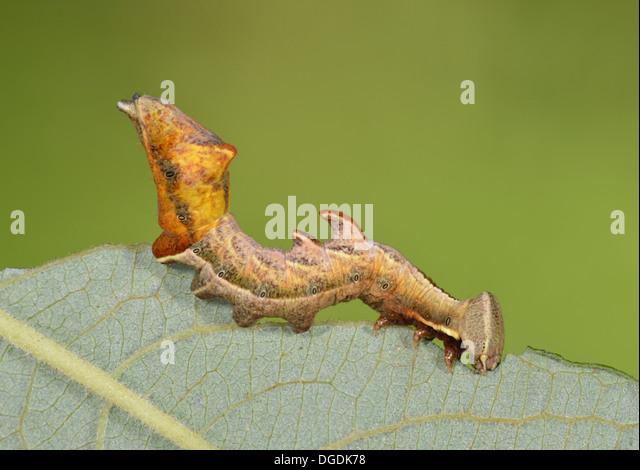 Pebble Prominent Eligmodonta ziczac - Stock Image