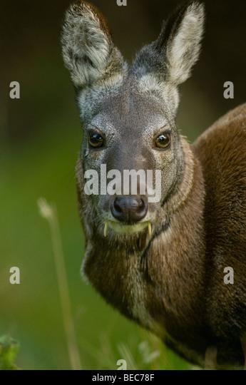Siberian Musk deer (Moschus moschiferus) - Stock Image