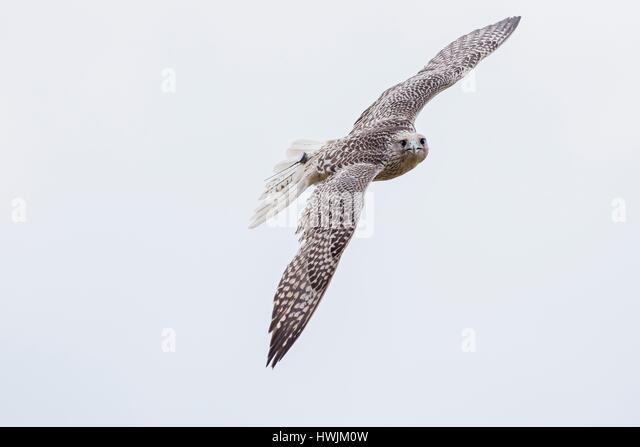 Gyrfalcon, flying - Stock-Bilder
