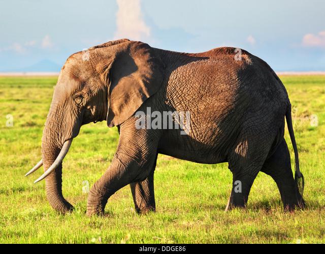 African Elephant (Loxodonta africana) portrait in Amboseli National Park, Rift Valley, Kenya, Africa - Stock-Bilder