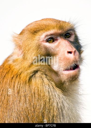 In the park a monkey stayed on a stone, I took this picture when he looked at me - Stock-Bilder