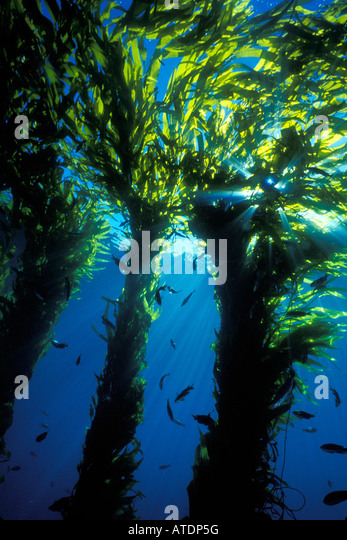 Giant Kelp Forest Macrocyctis pyrifera California Pacific Ocean - Stock Image