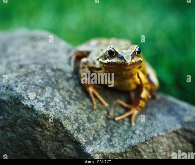 Common Frog, Rana Temporaria. - Stock Image