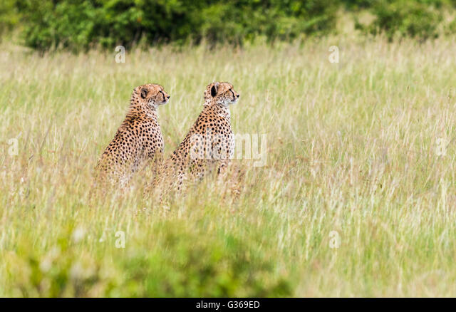 Two cheetahs in Masai Mara sitting in the the grass looking at something, Masai Mara, Kenya , Africa - Stock-Bilder