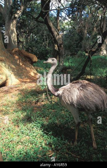 Uruguay rhea or nandu large bird rocha montes de los ombues national preserve - Stock Image