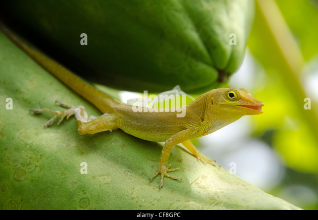 Gecko Stock Photos Amp Gecko Stock Images Alamy