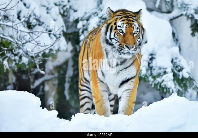Siberian Tiger or Amur Tiger (Panthera tigris altaica), in deep snow, captive, Switzerland - Stock Image