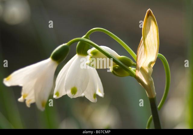 amaryllidaceae leucojum aestivu - Stock Image