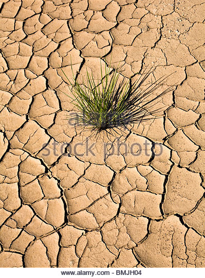 Plant growing in cracked, dry earth - Stock Image