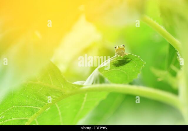 Close-Up Of Frog On Leaf - Stock Image