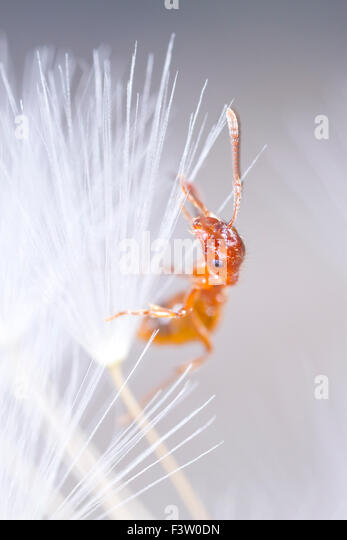 Red Ant (Myrmica rubra) adult worker in a dandelion clock. Powys, Wales. April. - Stock-Bilder