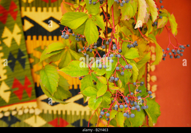 Grapes and vine with Turkish rug behind, near Bozburn, Datca Peninsula, Turkey - Stock Image