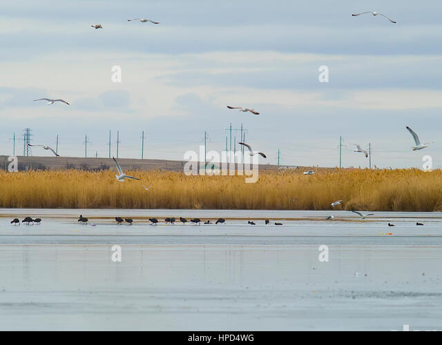 The seagulls, ducks and the frozen lake - Stock Image