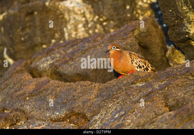 Galapagos dove (Zenaida galapagoensis), Puerto Egas, Santiago Island, Galapagos Islands, Ecuador, South America - Stock Image
