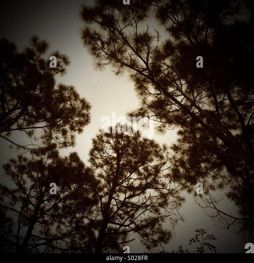 Carolina Longleaf pine trees looking up - Stock Image