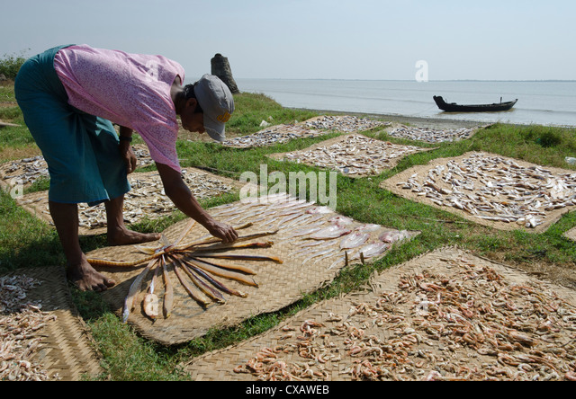 Fisherman spreading fish catch in the sun for drying, Irrawaddy Delta, Myanmar (Burma), Asia - Stock Image