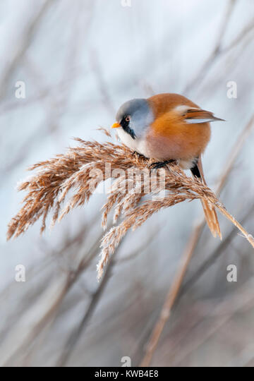 Bearded Reedling - Stock Image