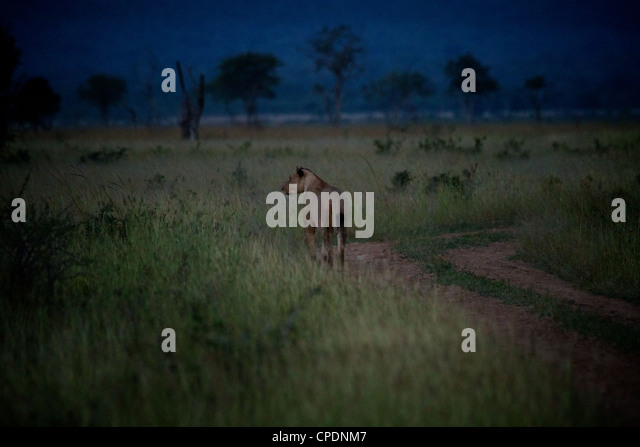 African Lion evening hunt  Panthera leo  in Mikumi Game reserve . Southern Tanzania. Africa - Stock Image