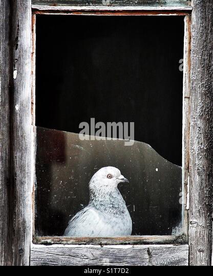 Pigeon looking through a window broken glass - Stock Image