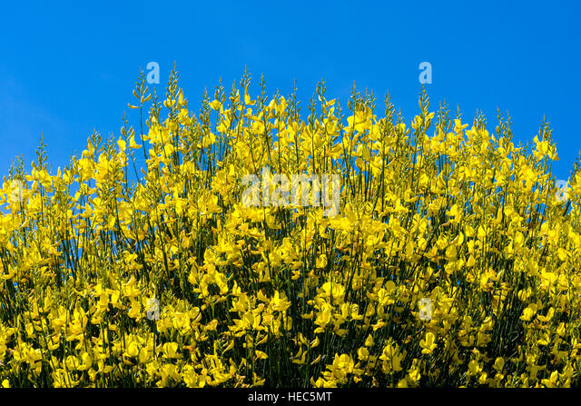 Yellow Broom Stock Photos & Yellow Broom Stock Images - Alamy