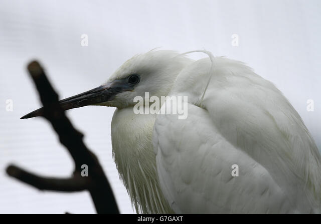 Little Egret (Egretta garzetta) - Stock Image
