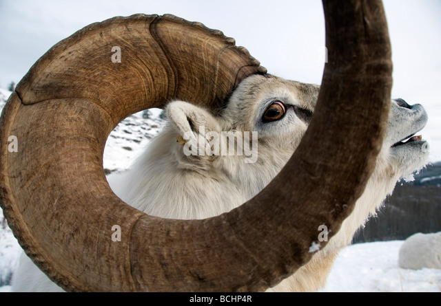 Close up of male Dall Sheep Yukon Territory, Canada during Winter - Stock Image